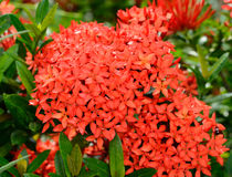 Ixora flowers in the garden Royalty Free Stock Photo