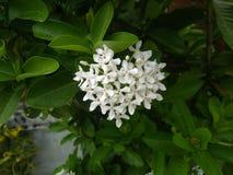 The Ixora flowers looks like a heart shape. royalty free stock images