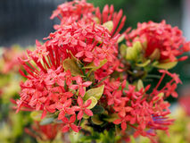 Ixora Flowers in the Park of Thailand. In the Chiang Mai City Stock Photos