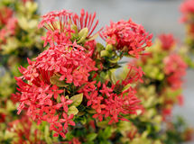 Ixora Flowers in the Park of Thailand. In the Chiang Mai City Royalty Free Stock Photography