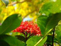 Ixora flowers. Red ixora flowers in the green garden and  other plants Stock Photography