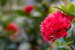Ixora flowers or red spike flowers with green leaves in a garden royalty free stock photography