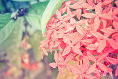 Ixora flowers Royalty Free Stock Images