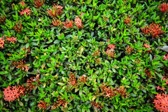 Ixora. Is a genus of flowering plants in the Rubiaceae family Royalty Free Stock Photography