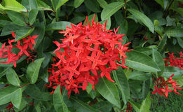 Ixora is a genus of flowering plants in the Rubiaceae family Stock Photo