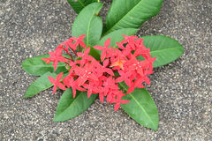 Ixora heart shape on concrete royalty free stock images