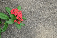 Ixora heart shape on concrete royalty free stock image