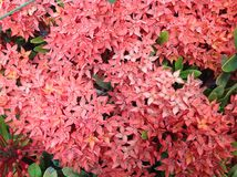 Ixora. The image of the red Ixora flower on its leaves background. Ixora is a genus of flowering plants in the Rubiaceae family. It consists of tropical Royalty Free Stock Photography