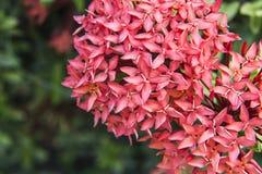 Ixora ist eine Klasse von Blütenpflanzen Lizenzfreie Stockfotos