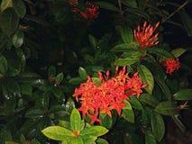 IXORA JAVANICA照片  IT是家庭龙血树属植物的开花植物 这个种类是& x28;BLUME& x29;DC 库存照片