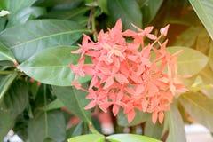 Ixora kolca Czerwony kwiat Królewiątko Ixora kwitnie Ixora chinensis Ixora coccinea kwiat na drzewie w ogródzie Ładnego lata czer Obraz Royalty Free