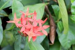 Ixora kolca Czerwony kwiat Królewiątko Ixora kwitnie Ixora chinensis Ixora coccinea kwiat na drzewie w ogródzie Ładnego lata czer Zdjęcie Stock