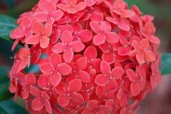 Ixora kwiat Zdjęcie Royalty Free
