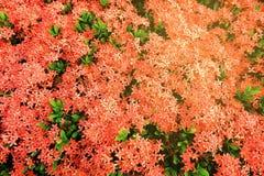 Ixora kwiatu tło z Lekkim przeciekiem zdjęcia royalty free