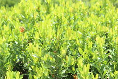Ixora leafes, Ixora in garden outdoor. Ixora leafes, Ixora in garden Stock Images