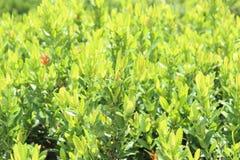 Ixora-leafes, Ixora im Garten im Freien Stockbilder