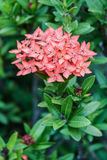 Ixora. Royalty Free Stock Image