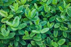 Ixora oder westindischer Jasmine Green Leaves Lizenzfreie Stockbilder