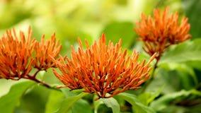 Ixora orange vibrant bourgeonne sur le jardin vert naturel photographie stock libre de droits
