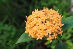 Ixora parkerar den orange blomman i gräsplan Royaltyfria Foton