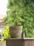 Ixora plant Stock Images