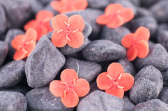 Ixora Prince of Orange flowers on black zen stones extreme close up Royalty Free Stock Photos