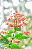 Ixora Royalty Free Stock Images