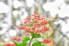 Ixora Stock Photography