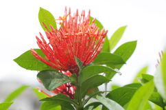 Ixora red flower Stock Photos