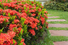 Ixora. Red flower (Ixora) in garden Stock Photos