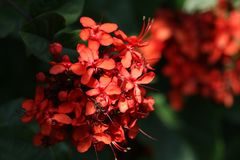 Ixora red flowers Royalty Free Stock Photos