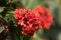 Ixora red flowers stock image