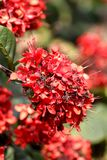Ixora red flowers Royalty Free Stock Photos