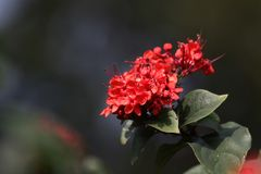 Ixora red flowers Stock Photography