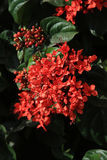 Ixora red flowers Royalty Free Stock Images