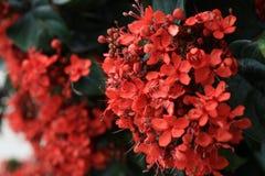 Ixora red flowers Stock Photos