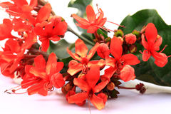 ixora red flowers Royalty Free Stock Image