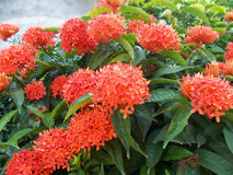 Ixora red flowers. Or jungle flame Royalty Free Stock Images