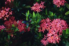 Ixora red flowers on the tree.  stock photo