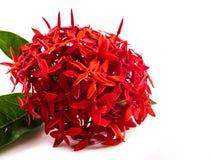 Ixora rojo en aislado Imagen de archivo libre de regalías