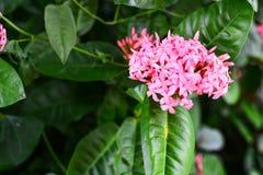 Ixora rosado, flor rosada en la planta Fotografía de archivo