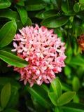 Ixora rosado hermoso Fotografía de archivo libre de regalías