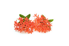 Ixora rouge Images stock