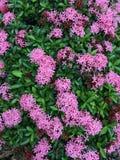 Ixora roze kleur stock foto's