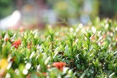Ixora spike flower green leaf plant garden. Red ixora spike flower green leaf plant garden Stock Images