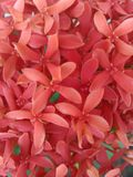 Ixora vermelho floresce o fundo Foto de Stock Royalty Free