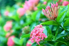 Ixora or West Indian Jasmine, beautiful pink flower blooming in. The garden for nature concept, selective focus image royalty free stock photos