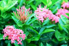 Ixora or West Indian Jasmine, beautiful pink flower blooming in. The garden for nature concept, selective focus image royalty free stock photo