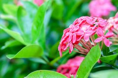 Ixora or West Indian Jasmine, beautiful pink flower blooming in. The garden for nature concept, selective focus image royalty free stock photography