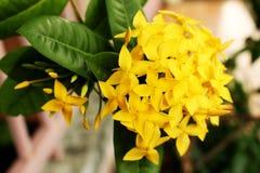 Ixora Yellow colors of spike flower. King Ixora blooming Ixora chinensis. Stock Photos